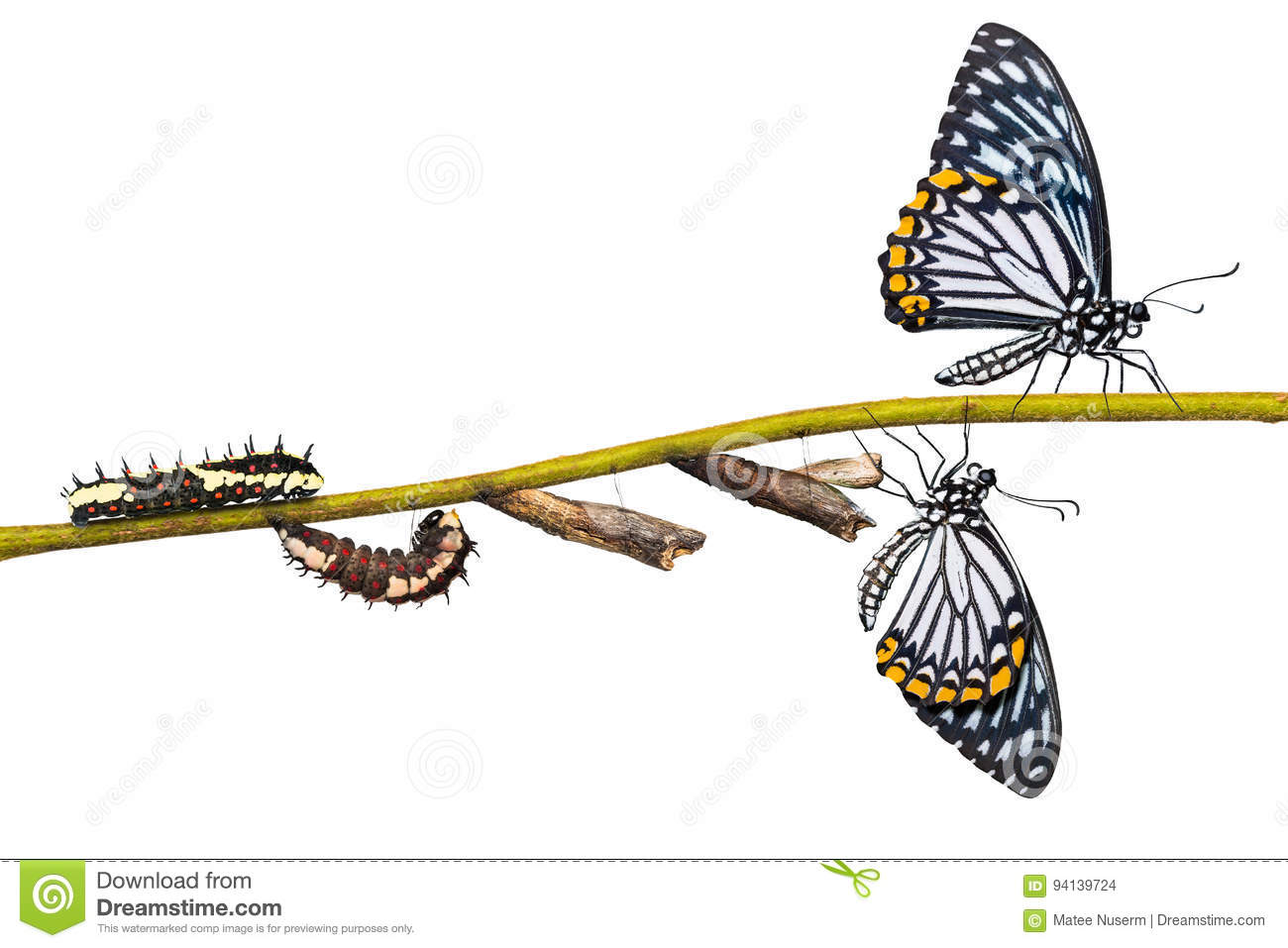 Common Mime Papilio clytia butterfly life cycle