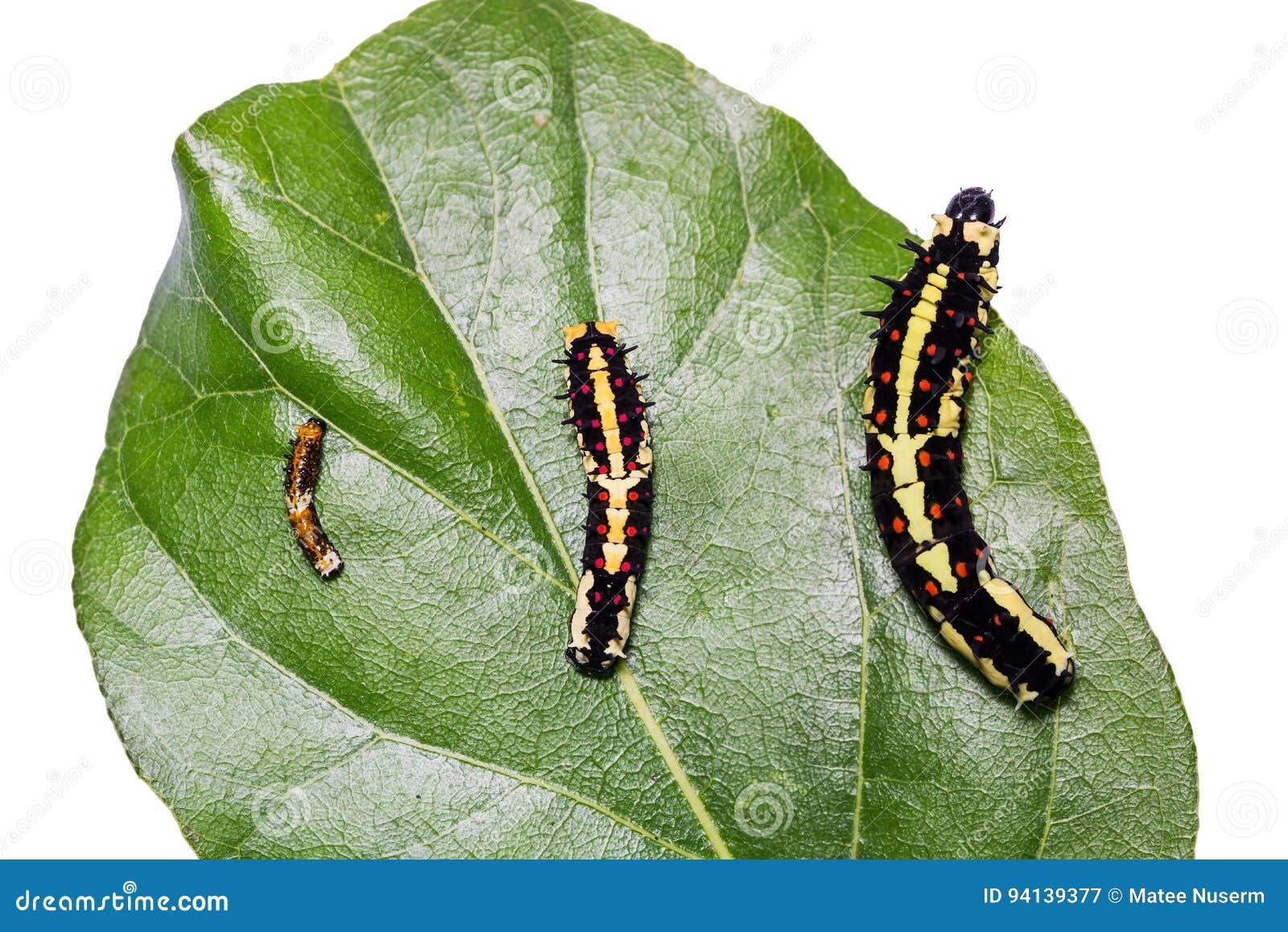 Common Mime Papilio clytia caterpillars