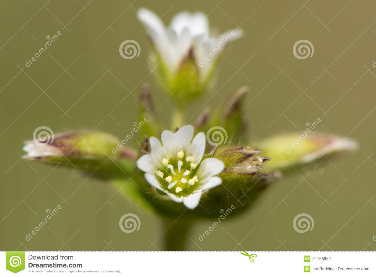 Common Mouse Ear Cerastium Fontanum Flowers Stock Photo Image Of