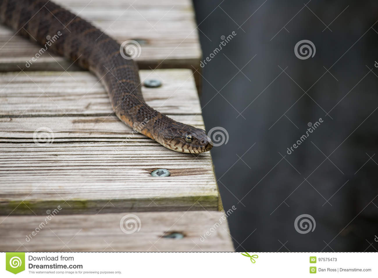 A common northern water snake rests on a pier by a lake.