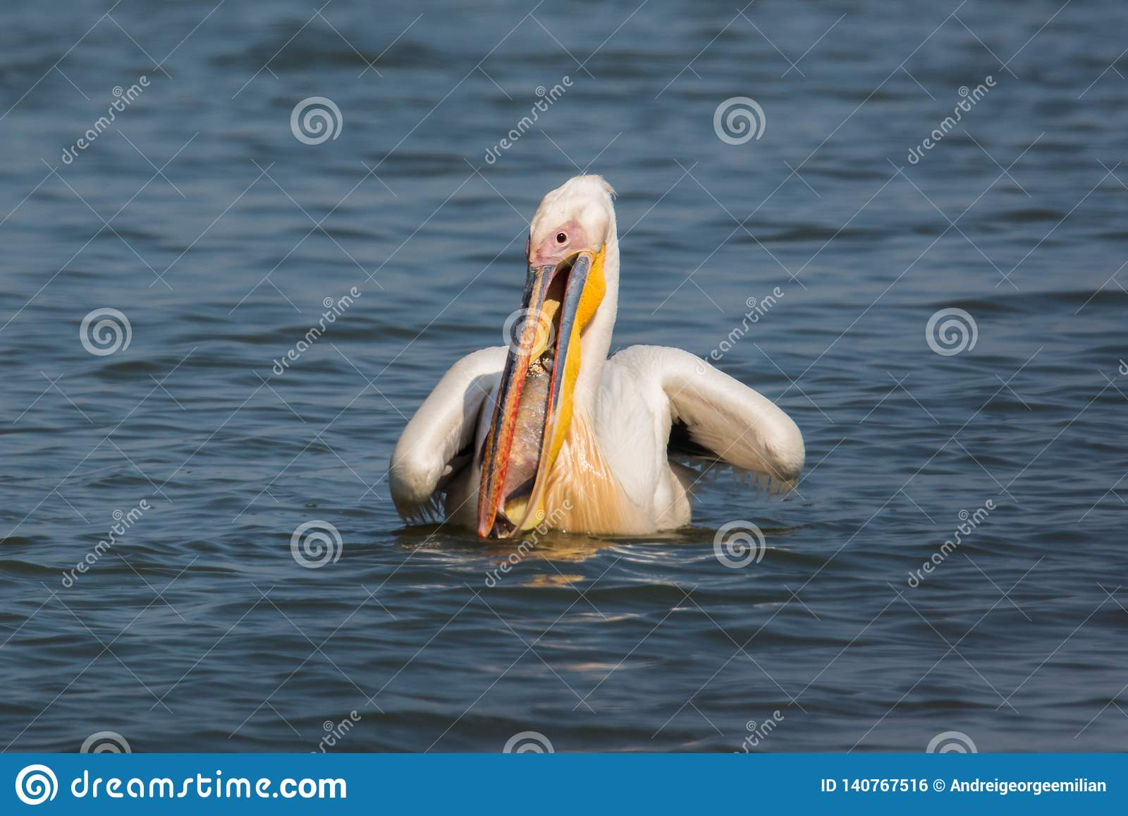 Wildlife: bigbird - common pelican eating a bigfish