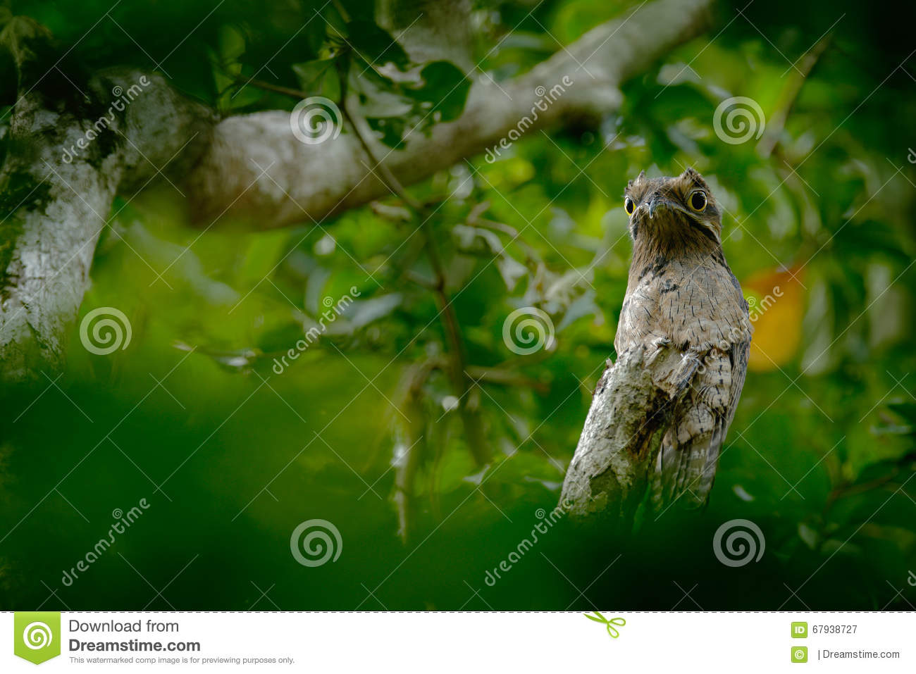 Common Potoo, Nyctibius griseus, on a perch, taken at Asa Wright Nature Centre, Trinidad, West Indies