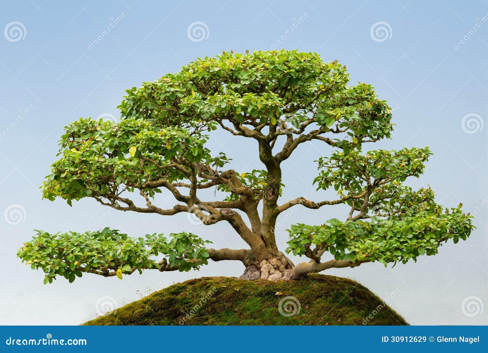 Common Privet bonsai