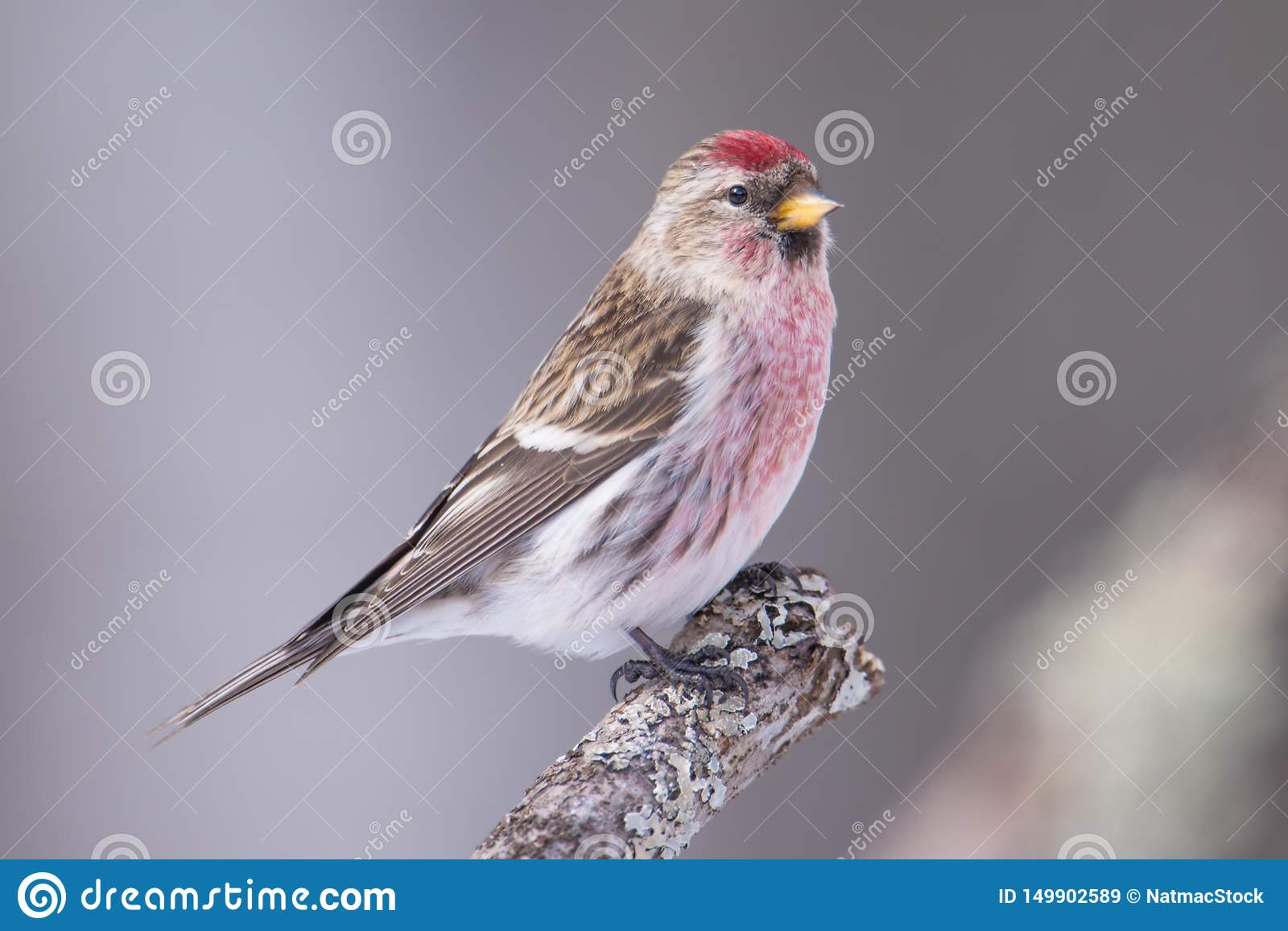 Common redpoll perched on a branch - taken in winter in the Sax-Zim Bog in Northern Minnesota