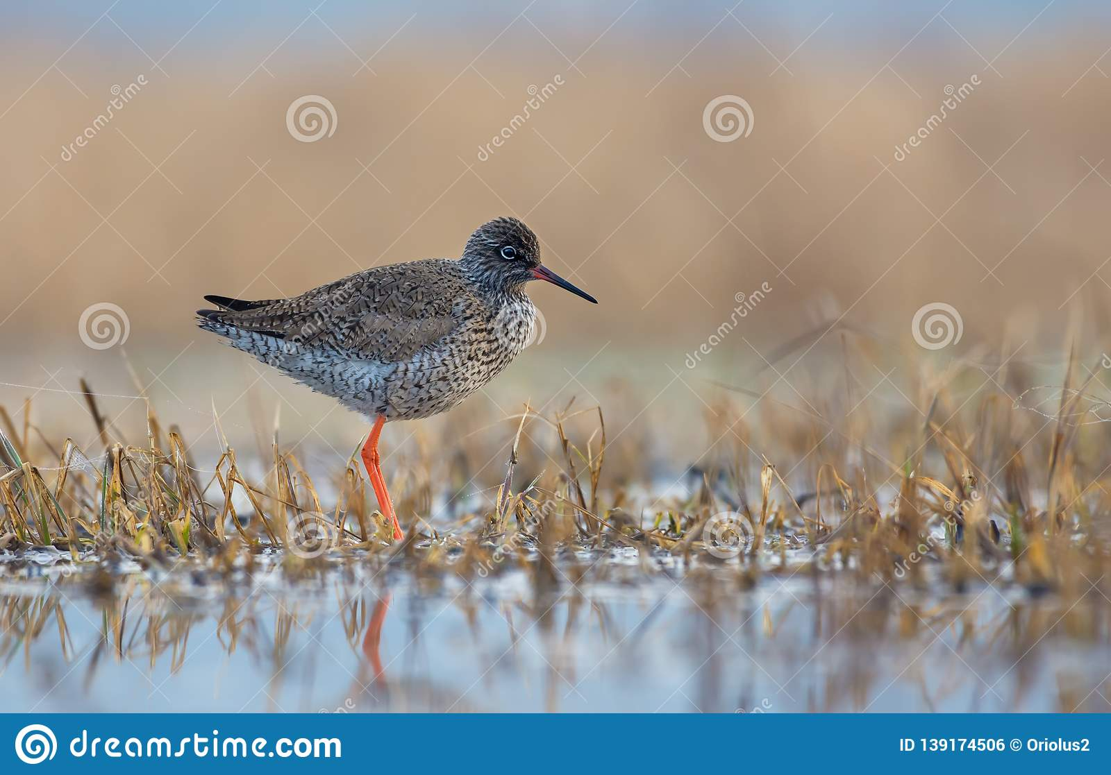 Common Redshank posing alone on the shore in shallow waters