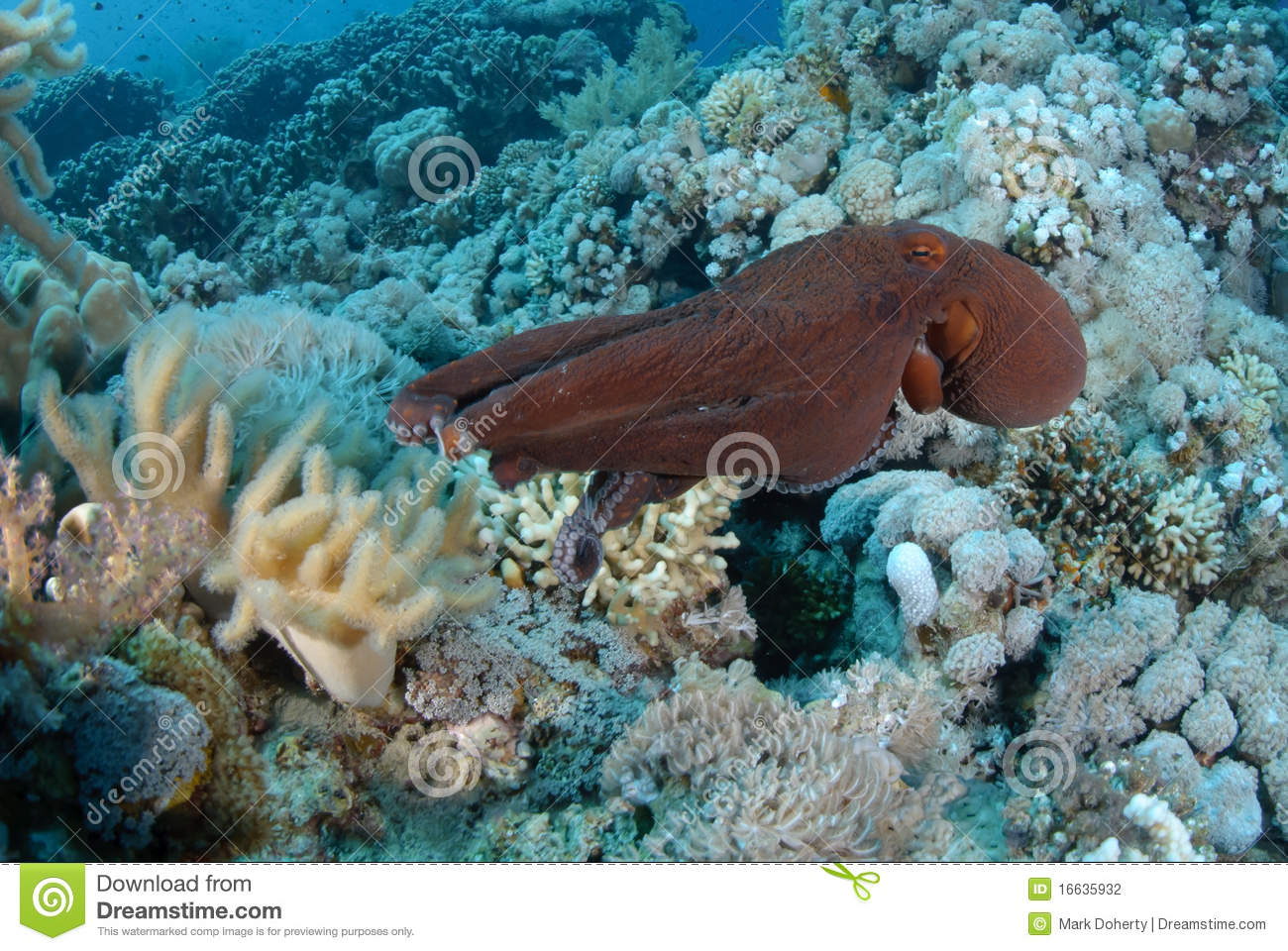 Common Reef Octopus Stock Photography - Image: 16635932