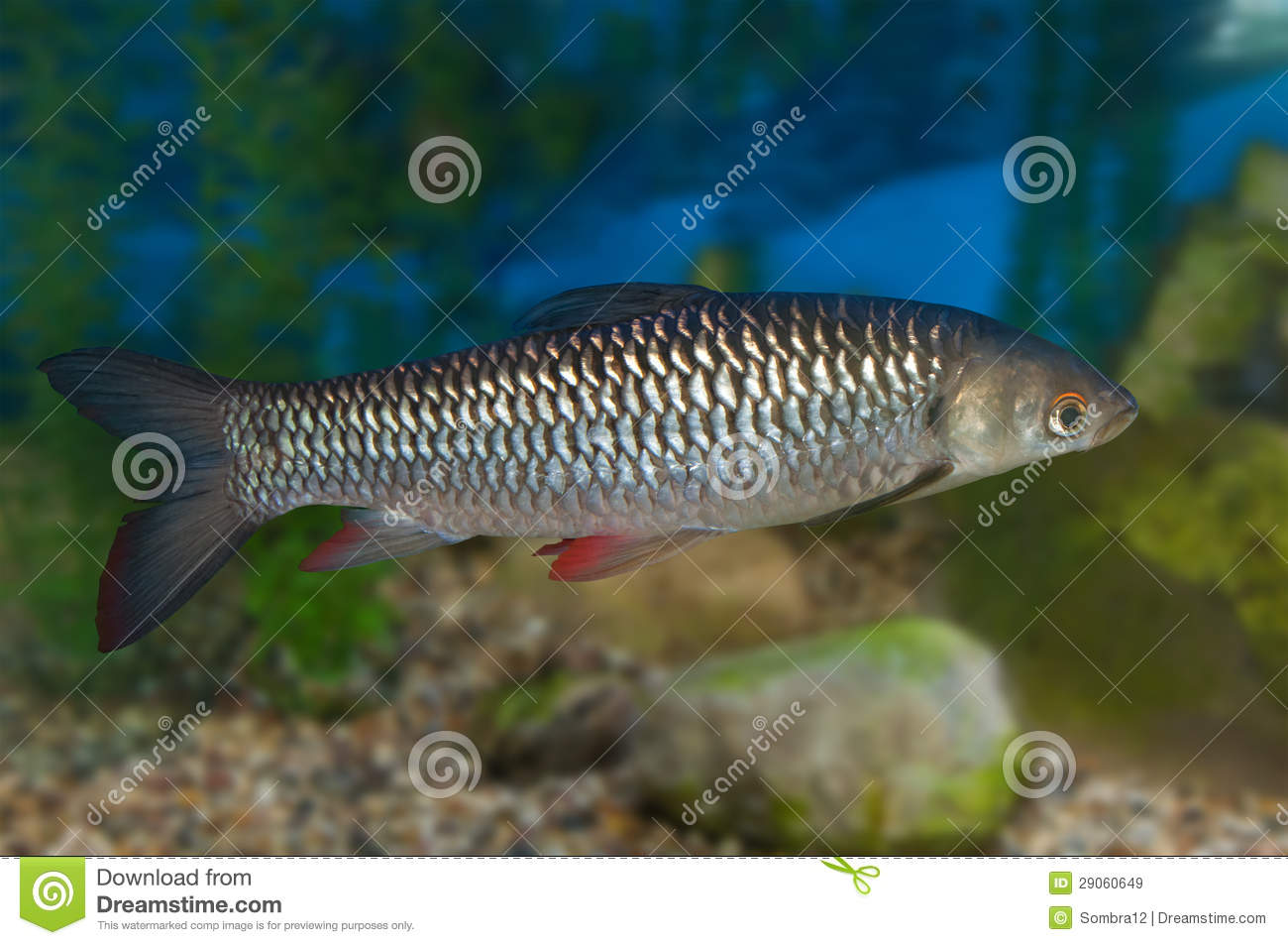 Common roach in aquarium royalty free stock images image for Common freshwater aquarium fish