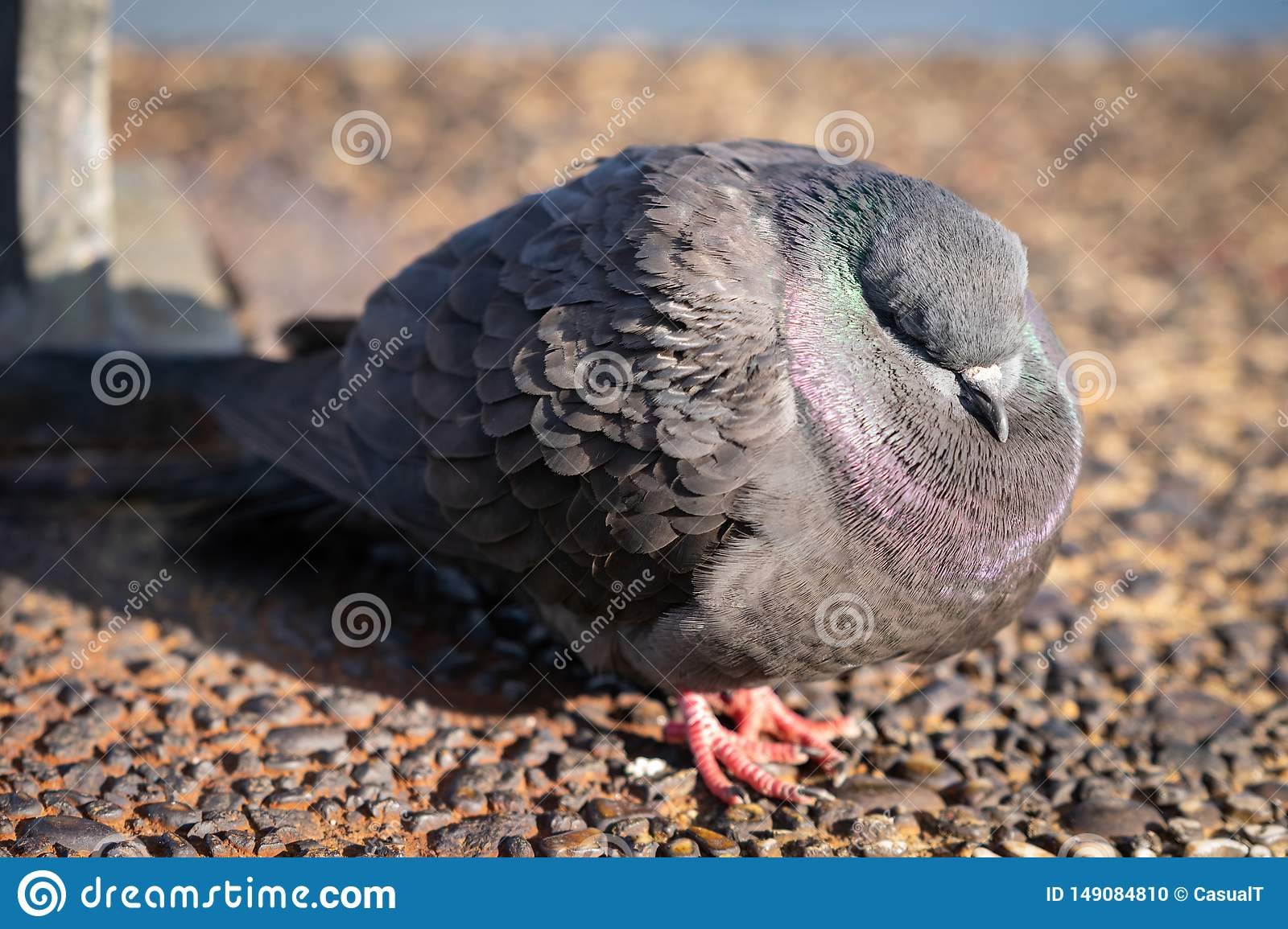 A common rock pidgeon, sleeping on a cold early spring day