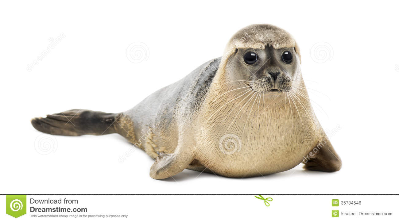 Common seal lying, looking at the camera, Phoca vitulina