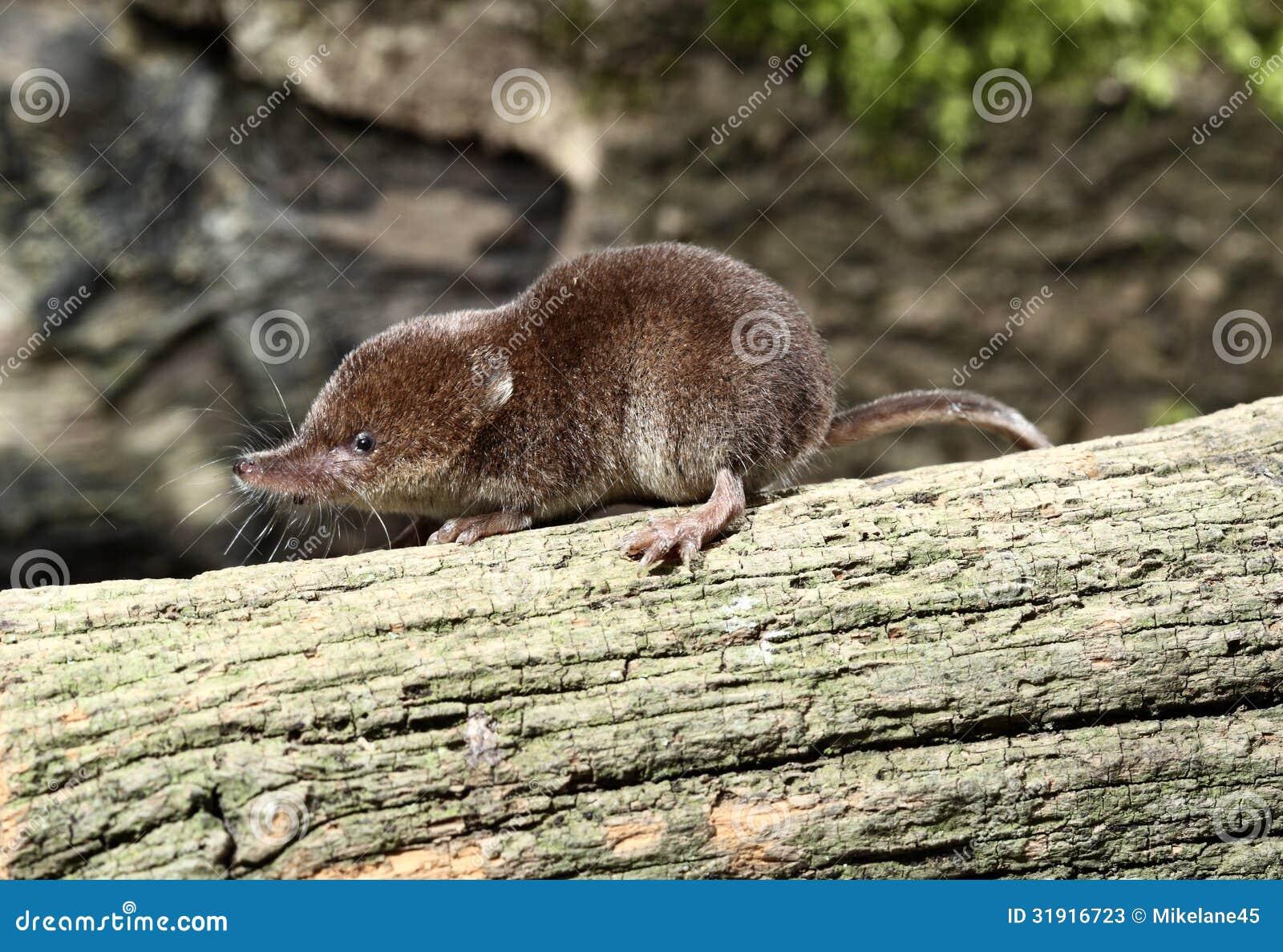 Related Keywords & Suggestions for sorex araneus Shrew Predators