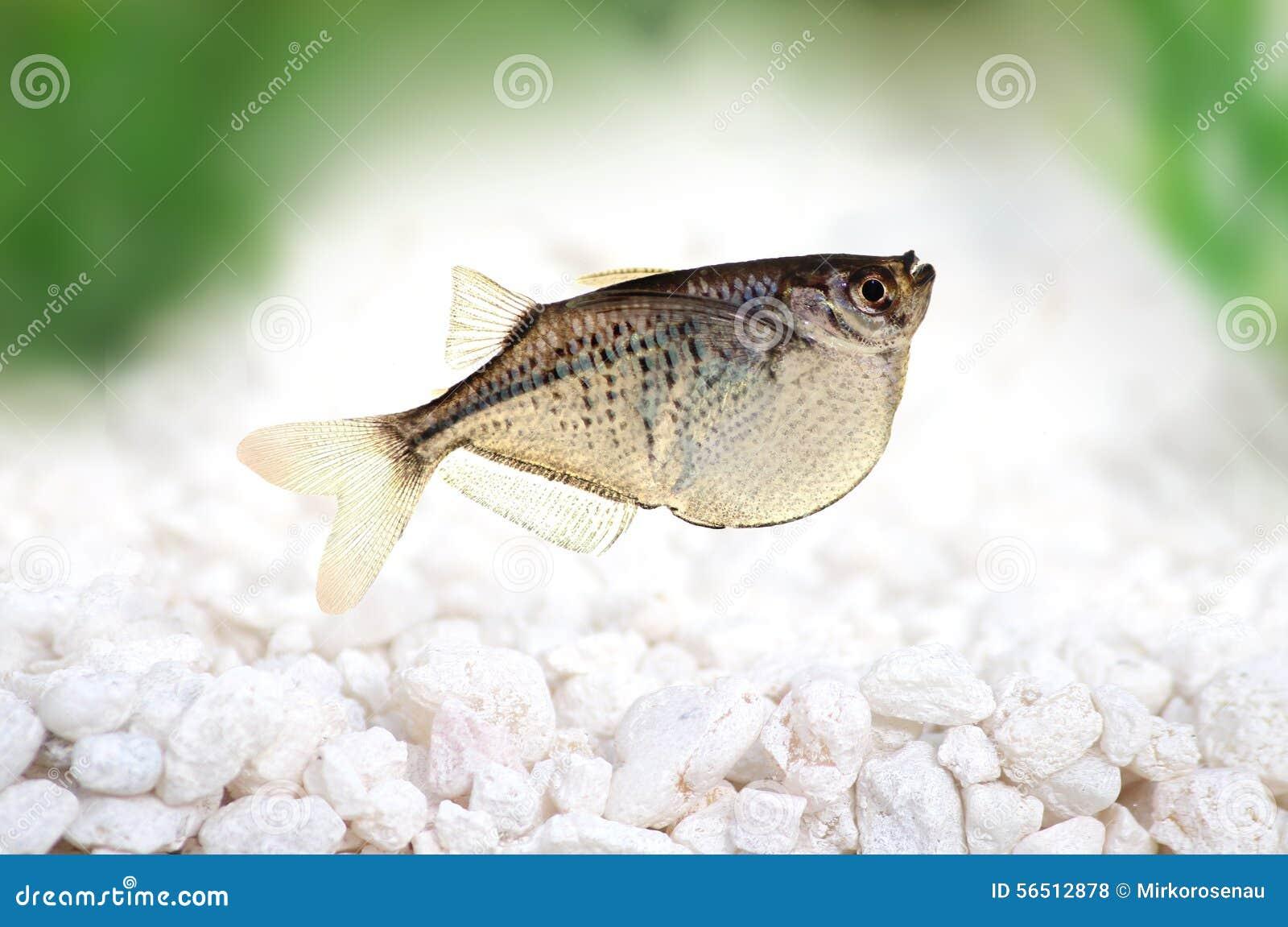 Common Silver Hatchetfish Gasteropelecus sternicla