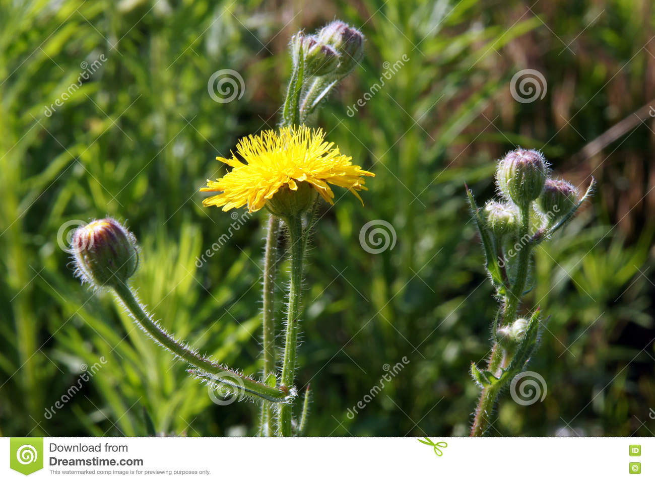 Common Sowthistle Plant Stock Image Image Of Leaves 76908111