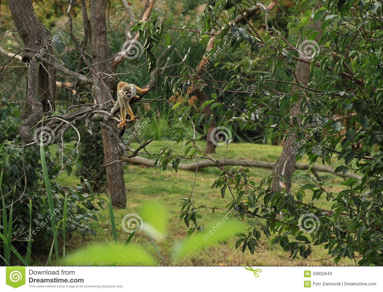 Squirrel monkeys in trees - photo#15