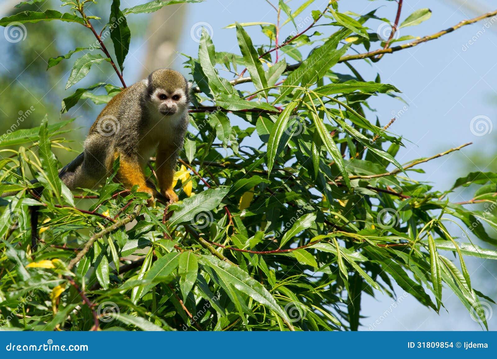 Squirrel monkeys in trees - photo#19