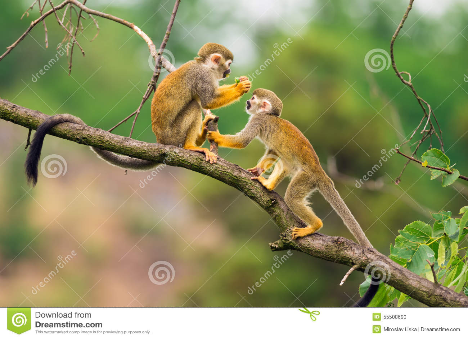 Squirrel monkeys in trees - photo#16
