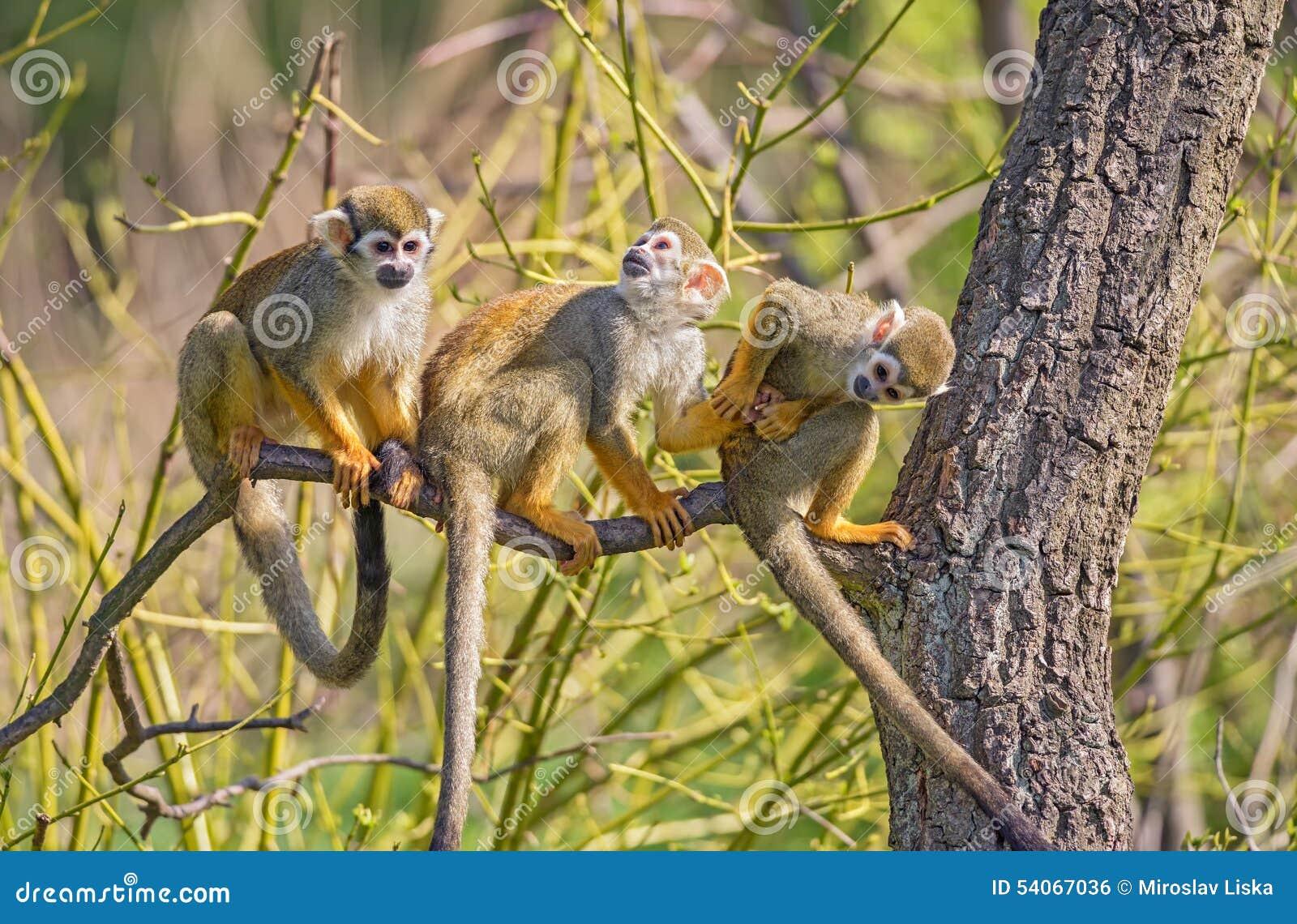 Squirrel monkeys in trees - photo#47