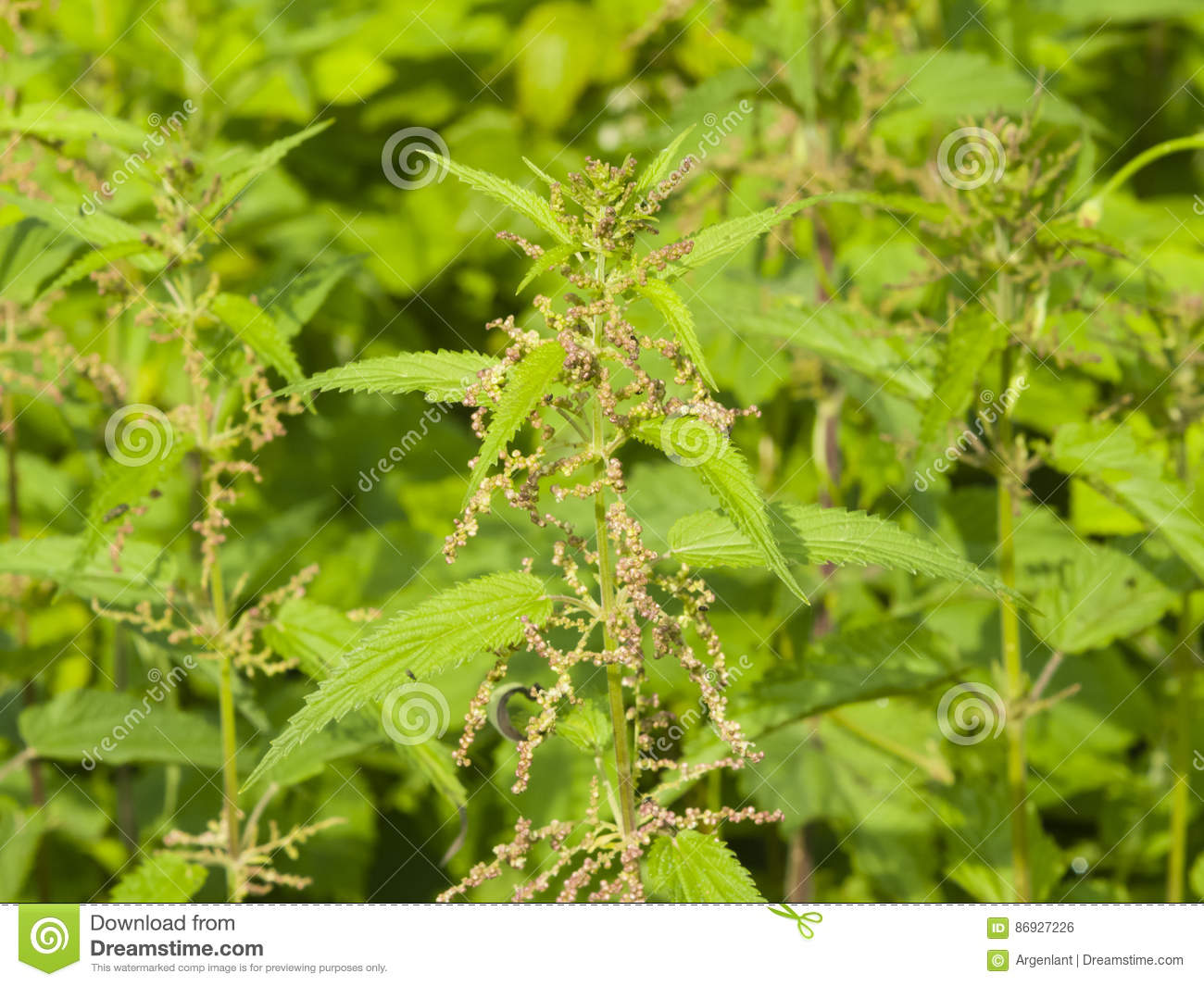Common or Stinging Nettle, Urtica dioica, flowers on stem macro, selective focus, shallow DOF