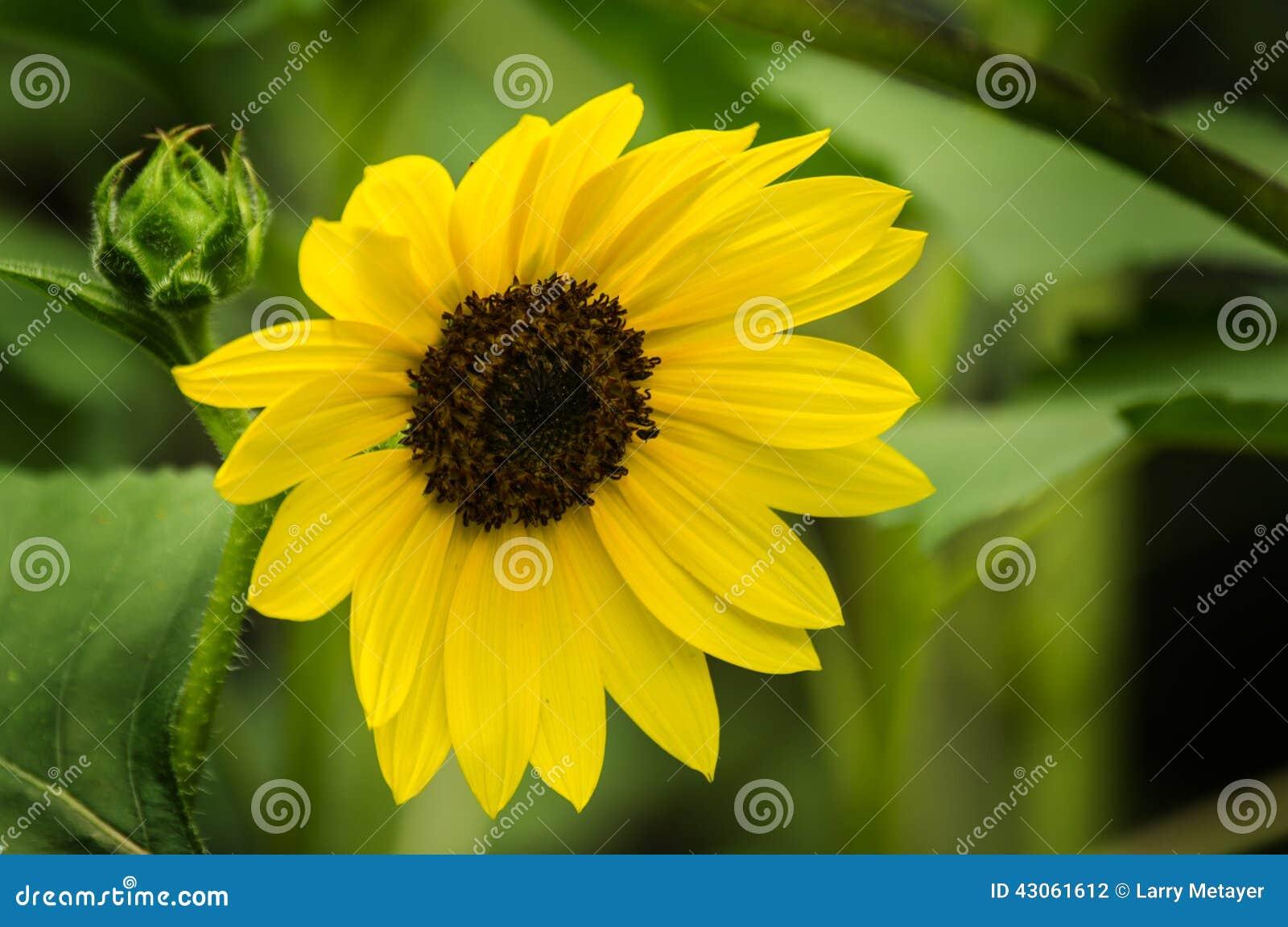 mon Sunflower Helianthus Annuus Stock Image