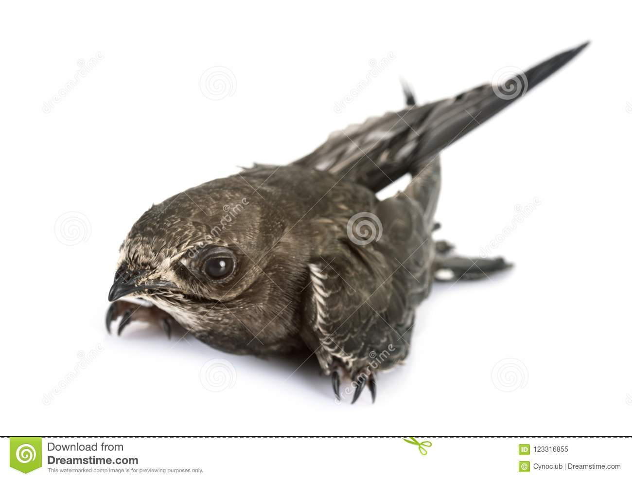 Young Common swift stock image  Image of swift, common