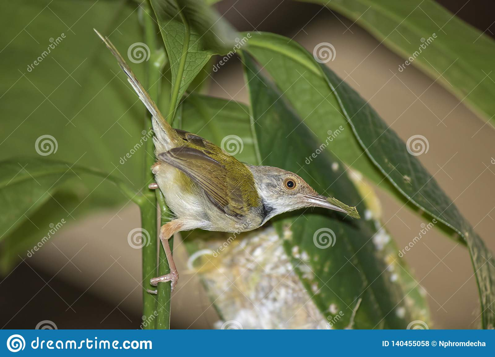 Common Tailor bird Orthotomus sutorius feeding the baby bird to the nest in the back