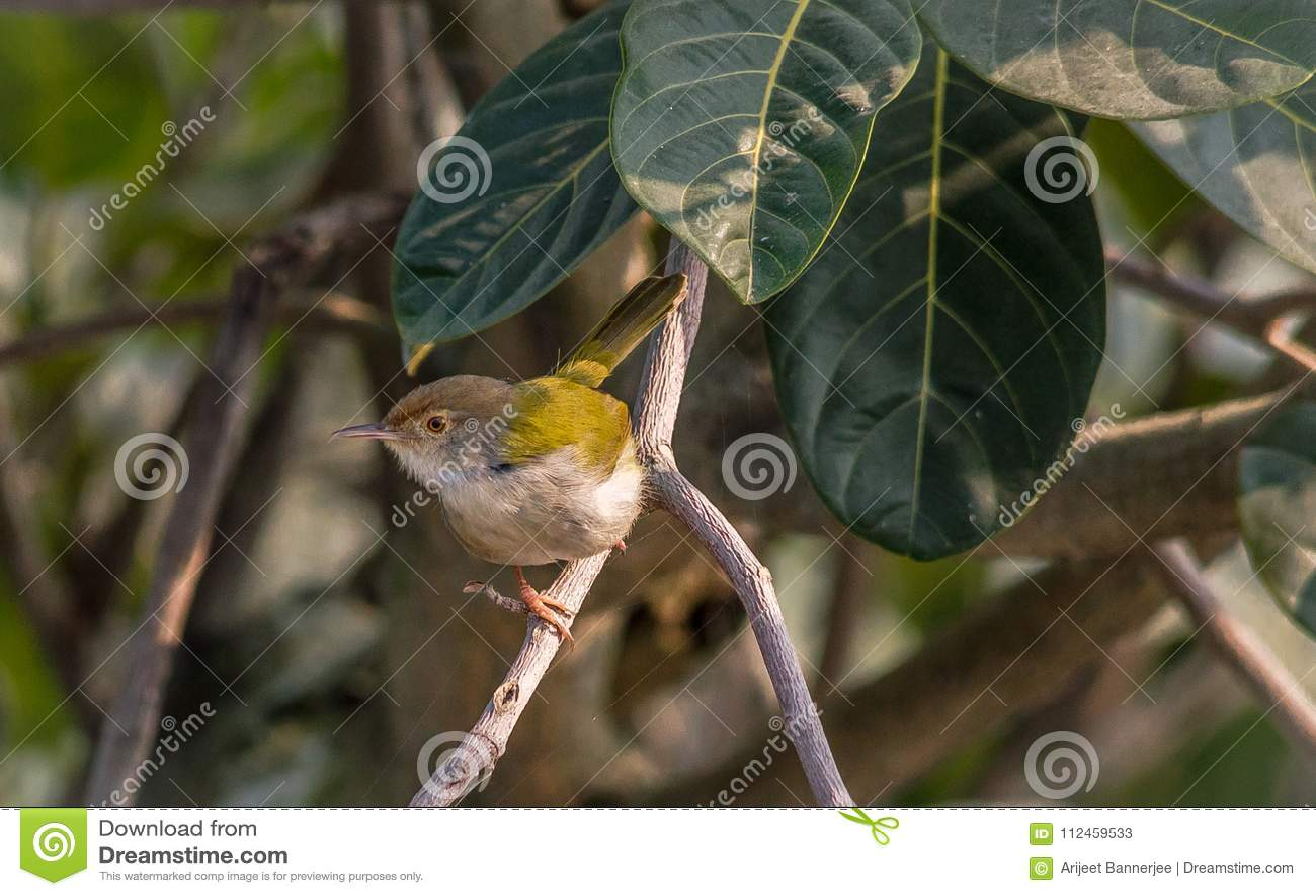 A common tailor bird sitting on tree branch