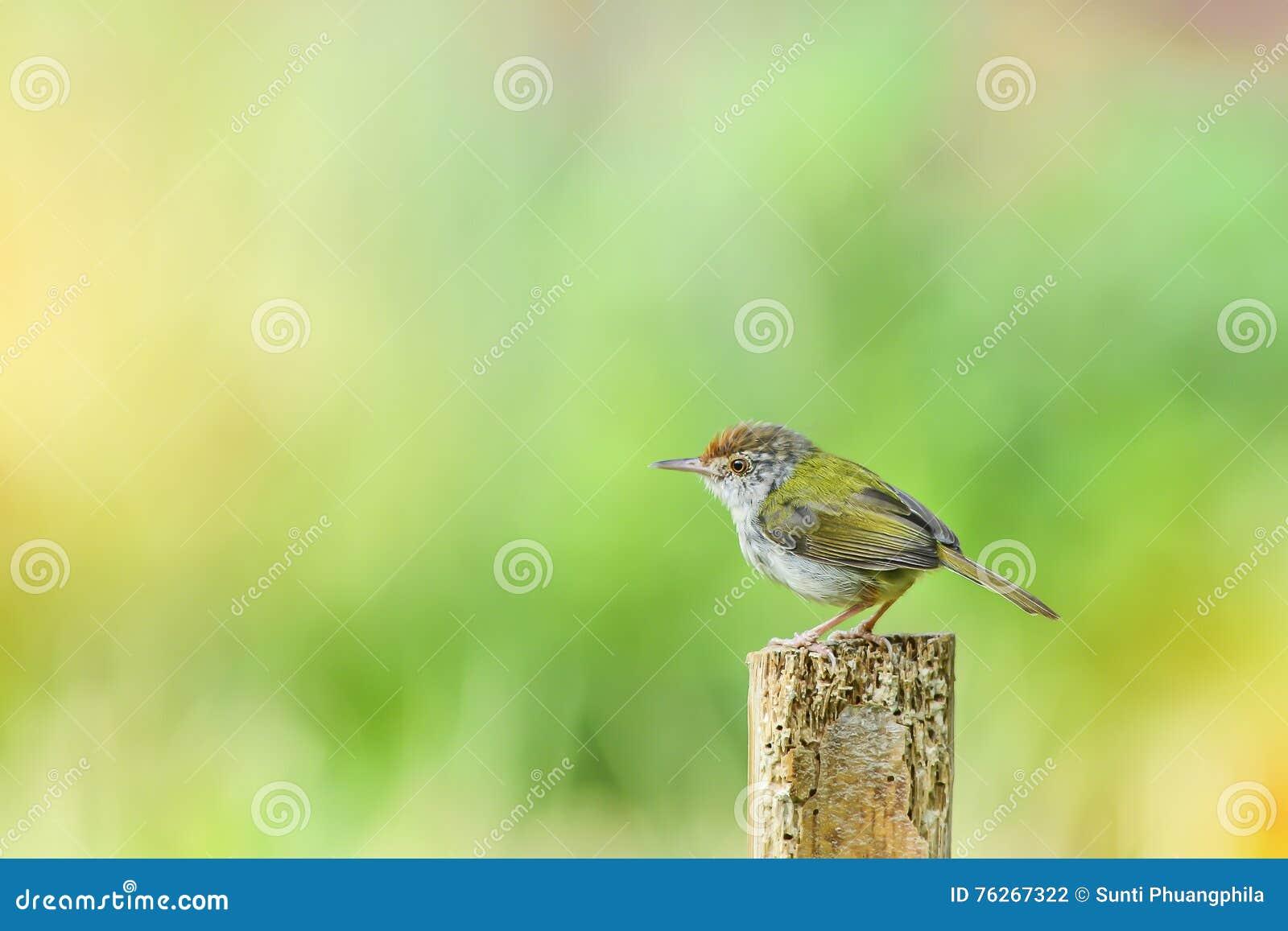 Common Tailor - bird