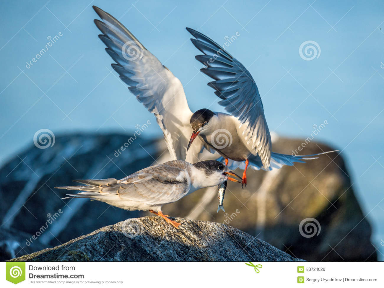 Common Tern Adult Feeding Chick. Stock Photo
