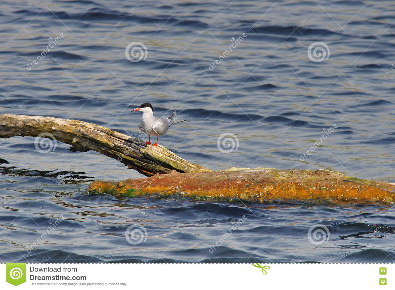 Common tern - natural reserve of the Danube Delta, landmark attraction in Romania. Summer seascape