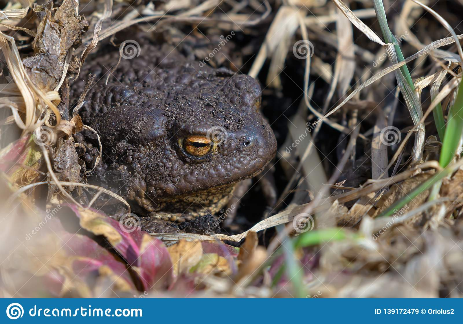 Common toad reposes itself under bright sun in warm spring