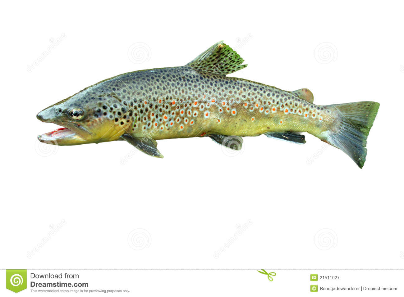 Common trout stock image. Image of flake, kitchen, angler - 21511027