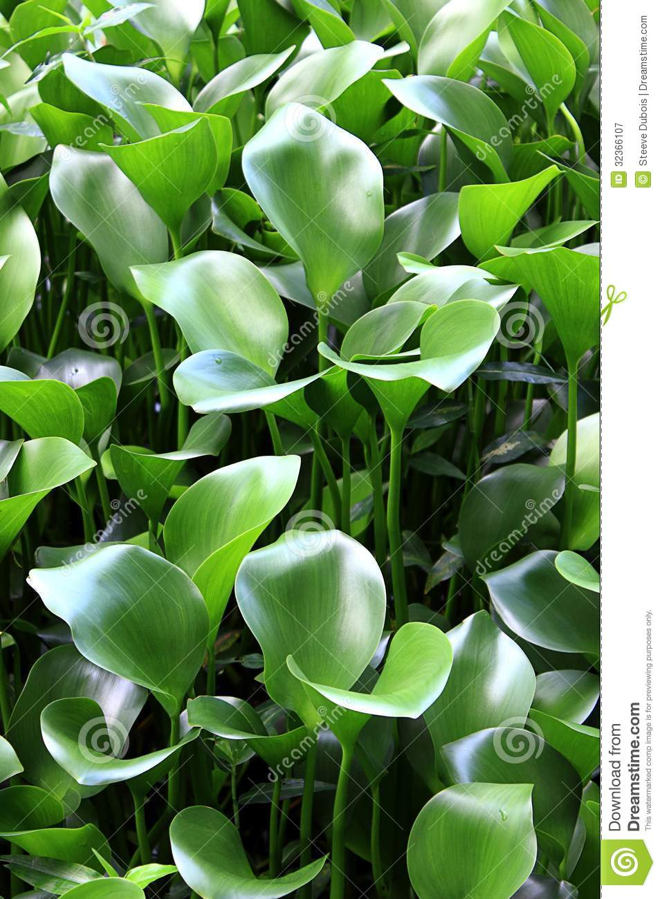 Common Water Hyacinth Plants Royalty Free Stock ...