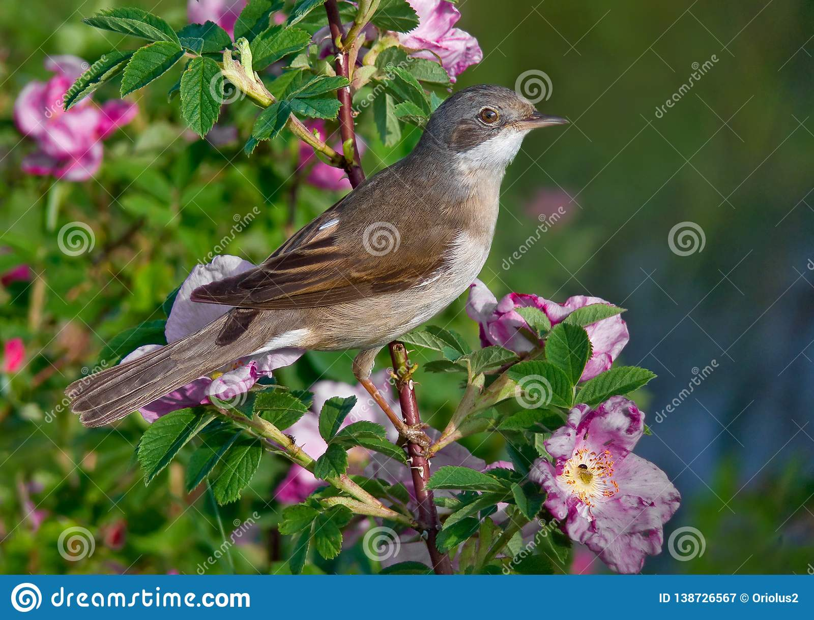 Common whitethroat male perched on a blossoming bush with a lot of flowers
