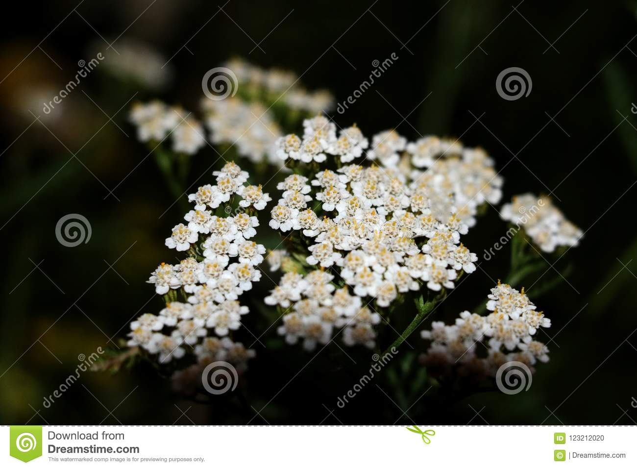 Common yarrow Achillea millefoliumwhite flowers close up top view as floral background against green blurred grass.