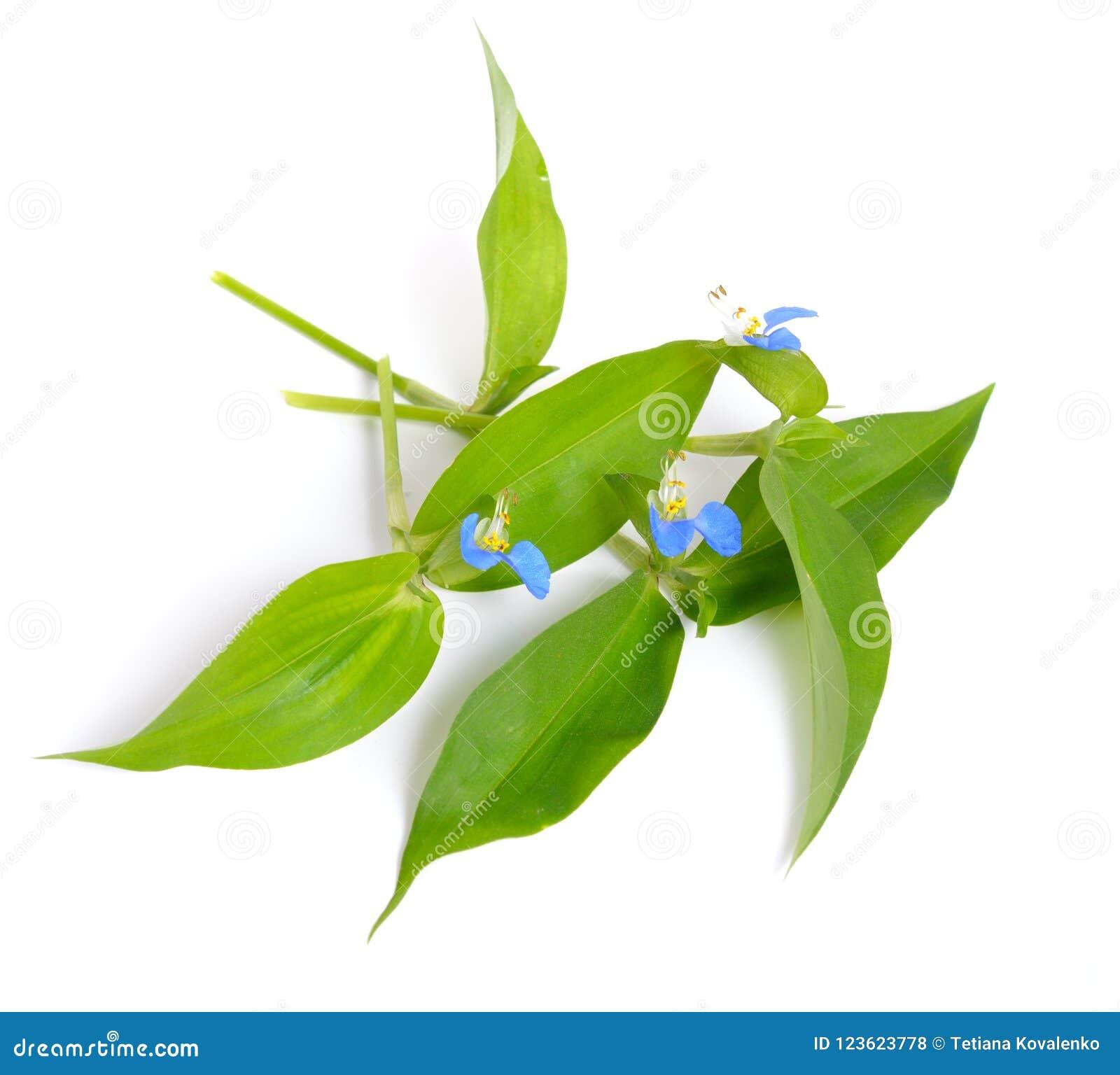 Communis Commelina, gemensamt bekant som den asiatiska dayfloweren Iso