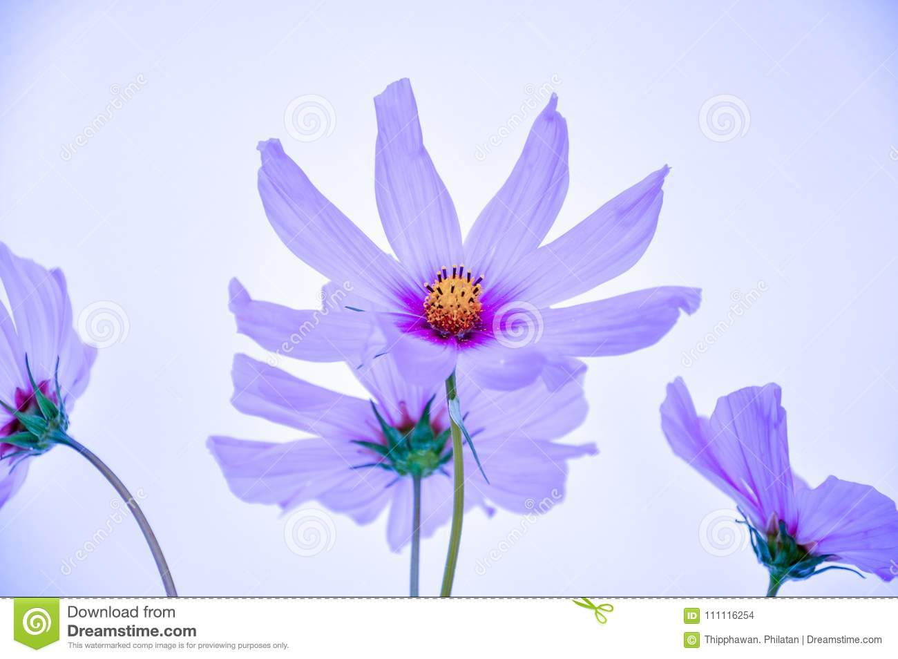 Comos in purple color light blue background stock photo image of royalty free stock photo izmirmasajfo