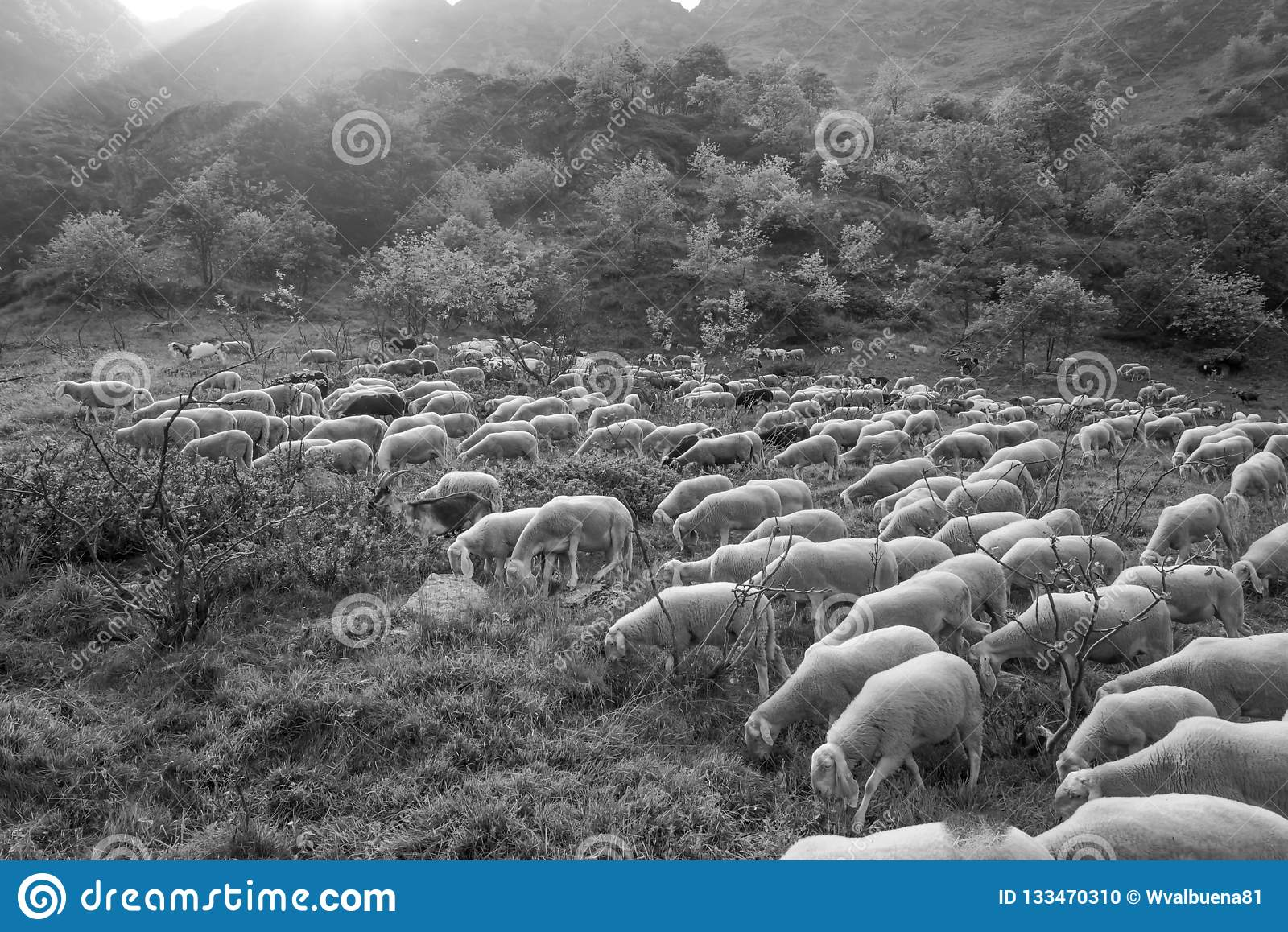 Compact flock of sheep walking and eating in the pasture