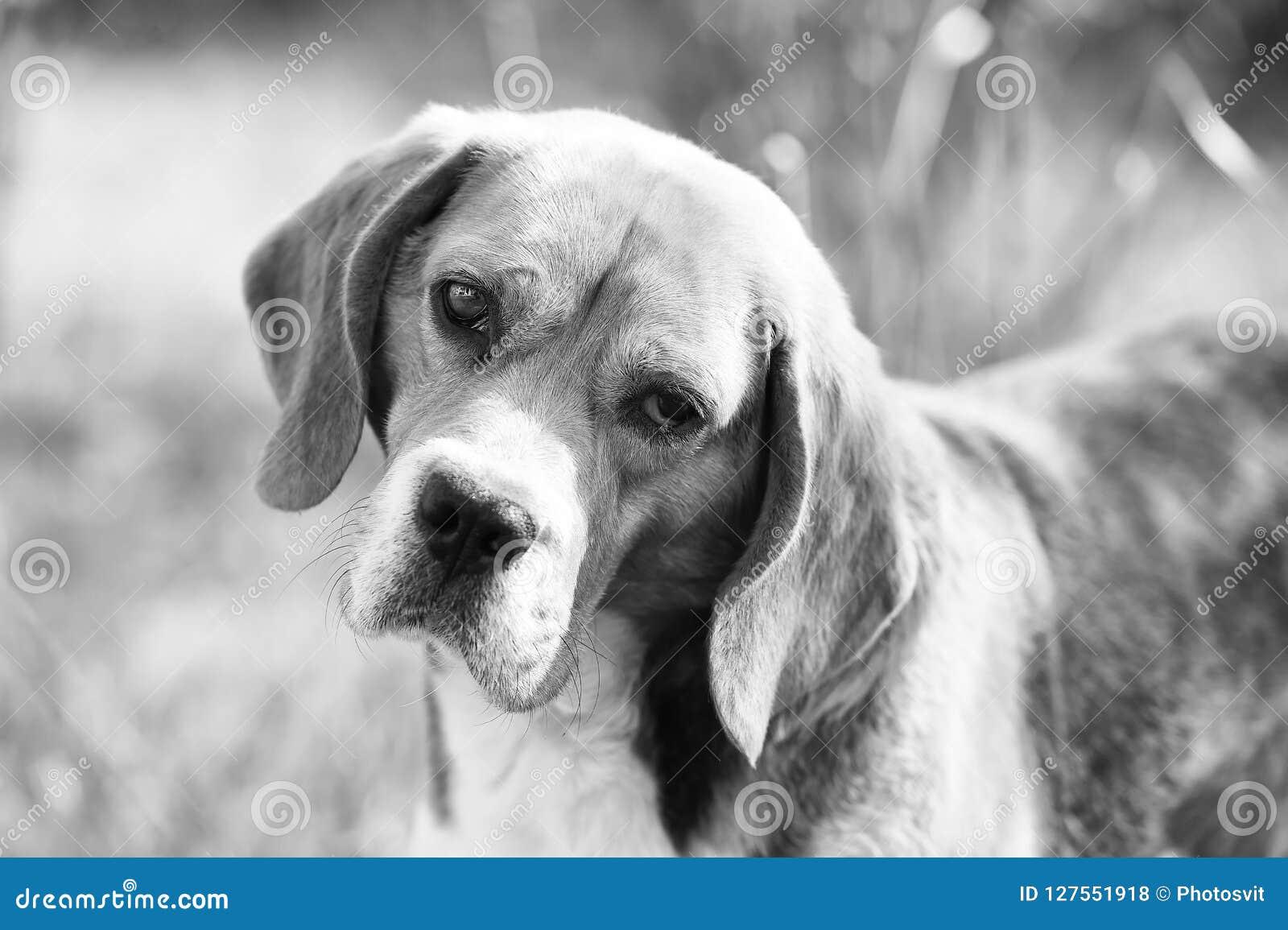 Compagno o amico e concetto di amicizia Passeggiata del cane da lepre su aria fresca Cane con le orecchie lunghe su estate all ap