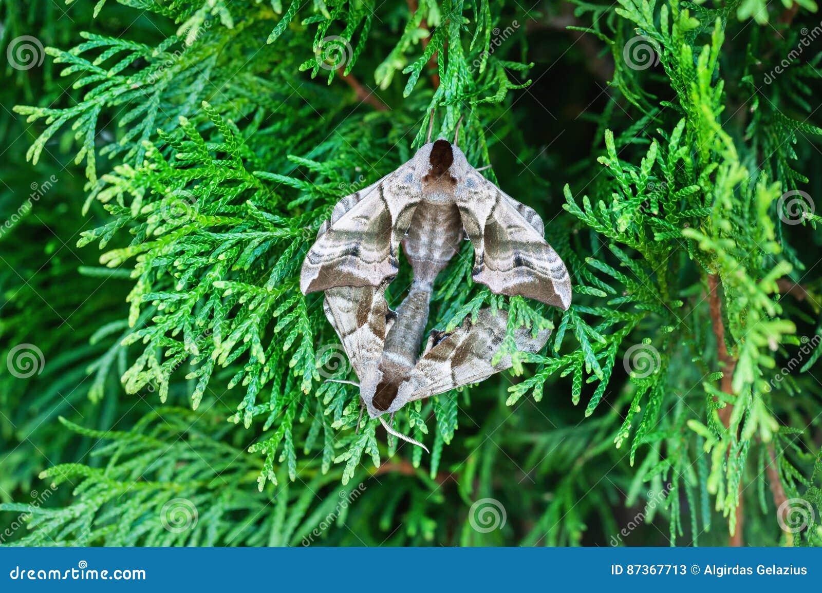 Compagno osservato del lepidottero di falco