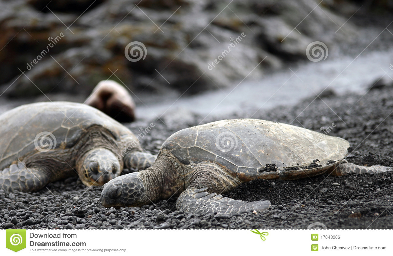 Companion Green Sea Turtles relaxing