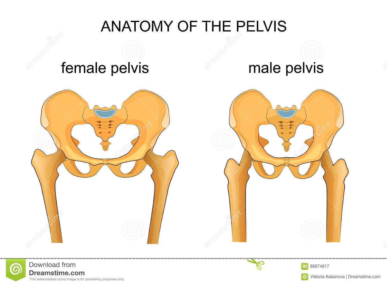 Comparison Of The Skeleton Of The Male And Female Pelvis Stock