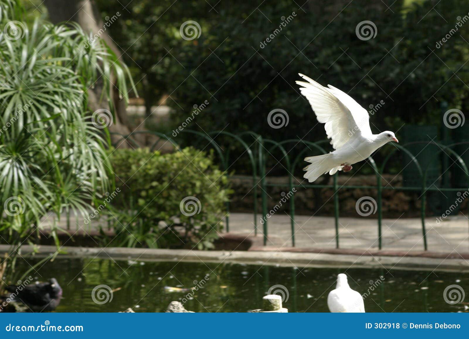 Competindo o pombo