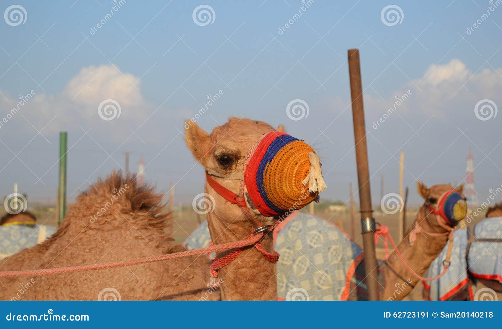 Competir Con El Camello En Su Bozal Coloreado Imagen de archivo ...