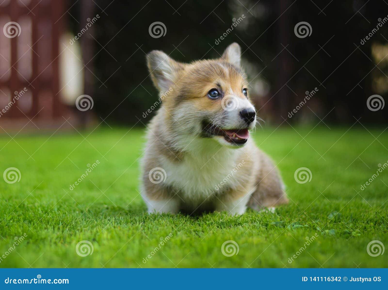 Completo feliz bonito do cachorrinho do pembroke do corgi de galês da energia que joga o assento em uma grama verde no jardim