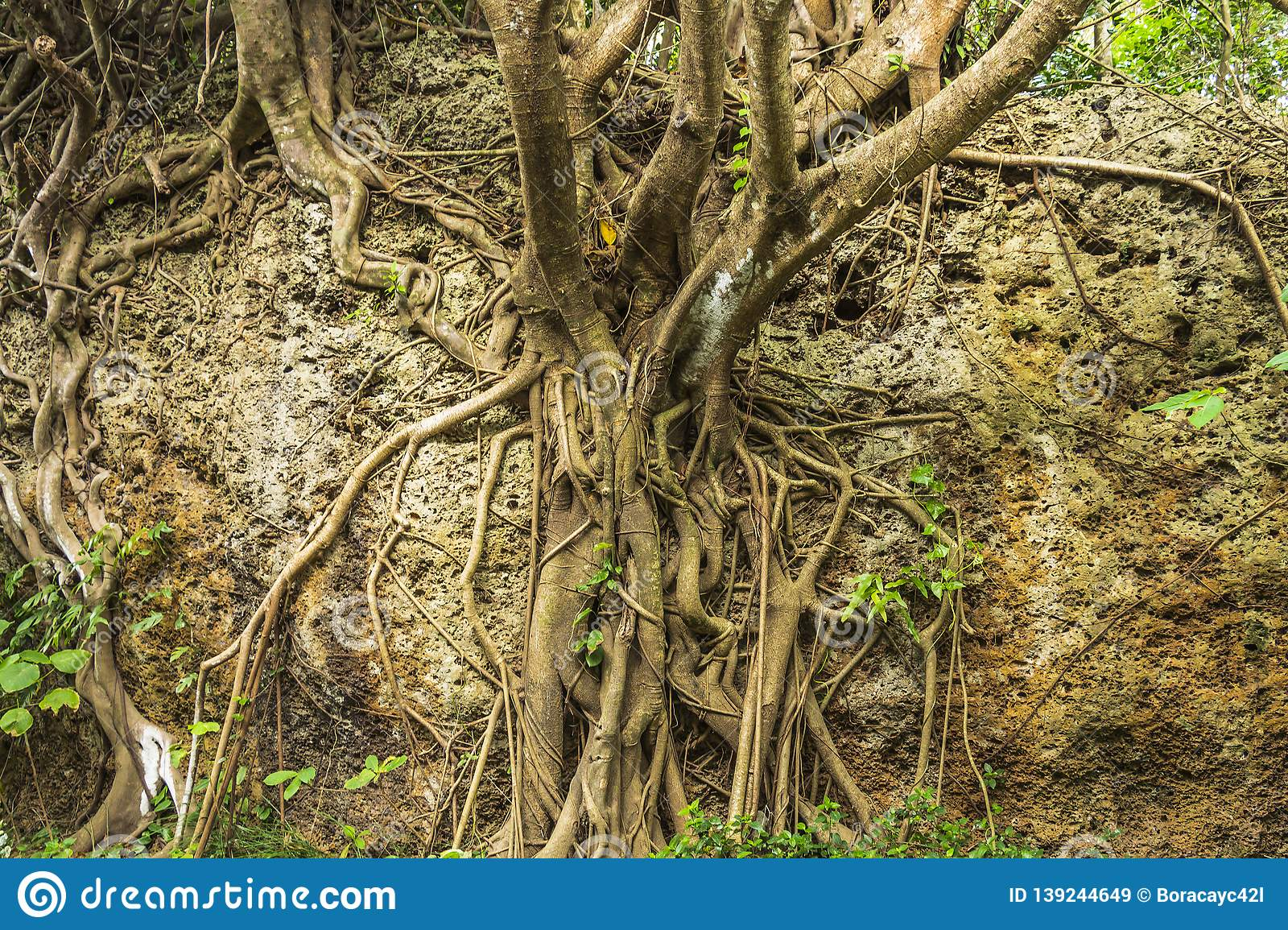 Roots and extensive branching of the Banyan tree at Eluanbi Park, Kenting National Park