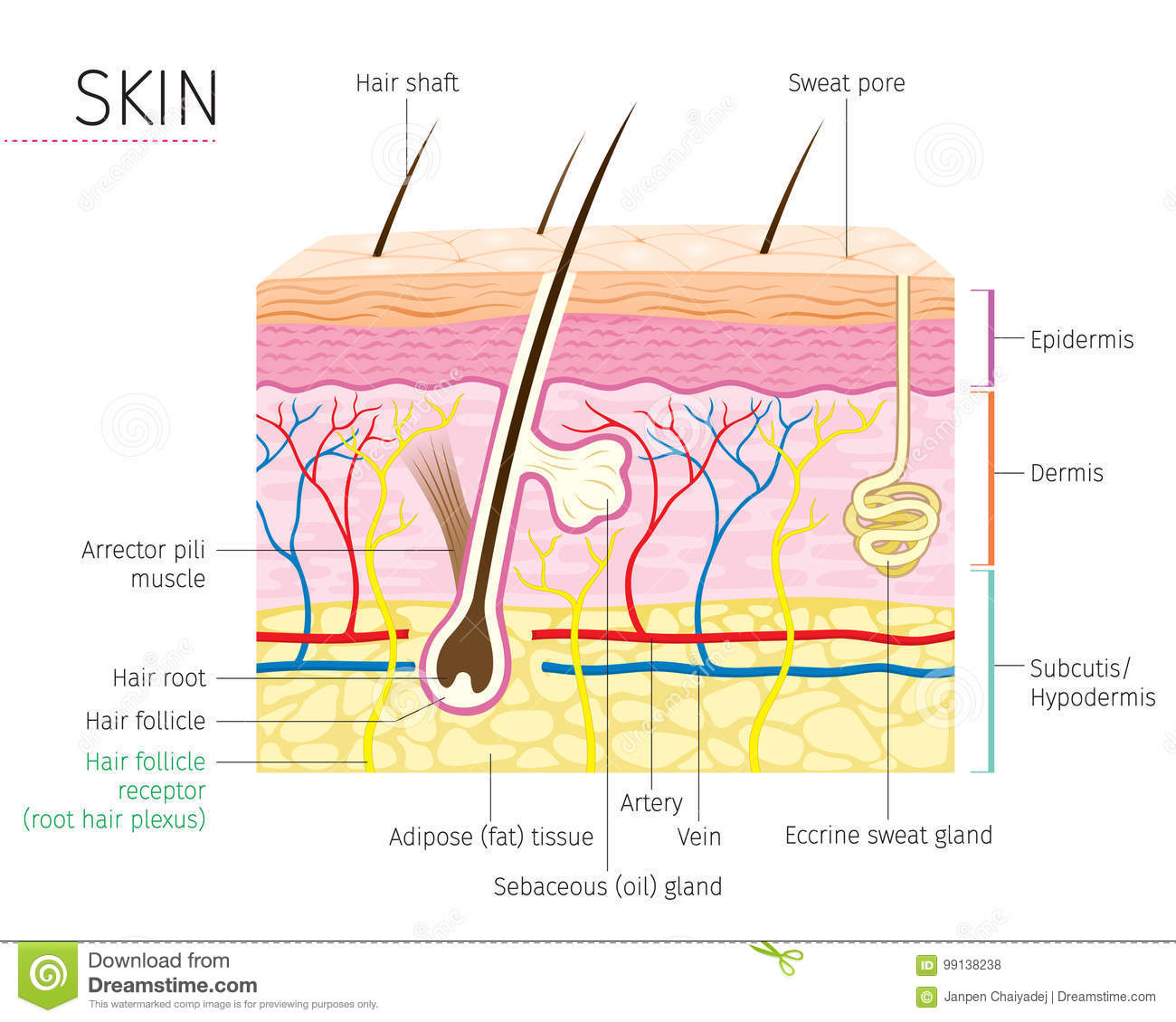 Diagram Of A Hair Follicle In A Cross Section Of Skin Layers Stock