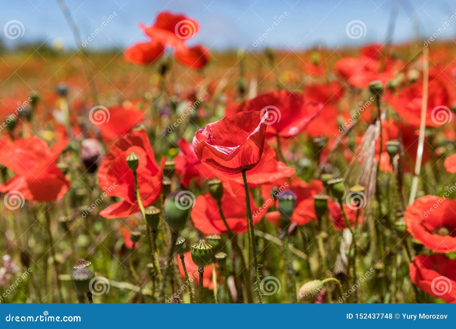 Complot de jardin couvert en fleurissant les pavots rouges sur le fond du ciel bleu de nuages pelucheux blancs Jour ensoleill? lu