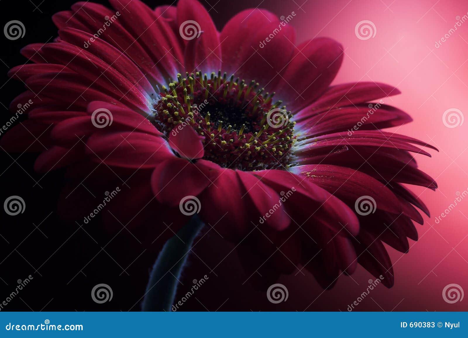 Composición de color de malva 1. de la flor.