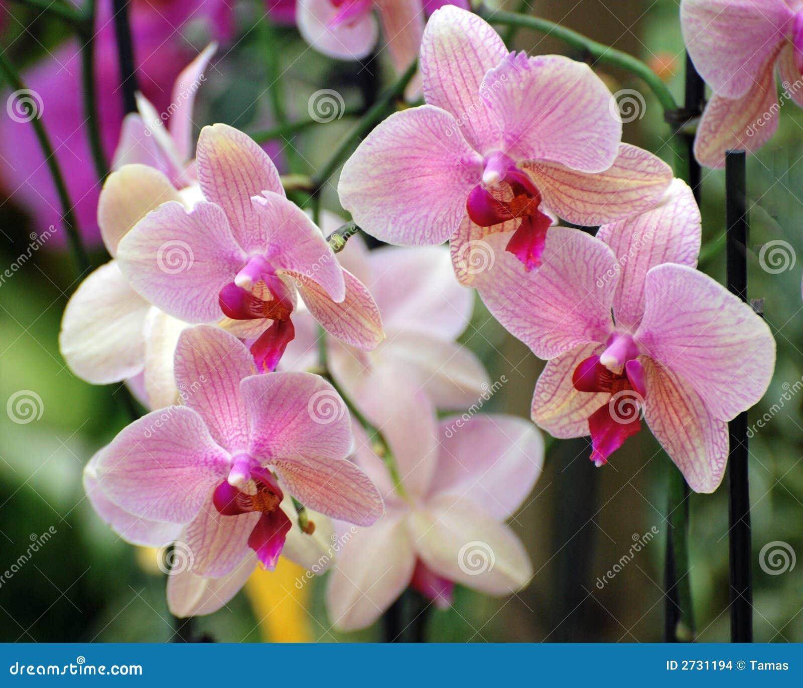 Composición rosada de las orquídeas