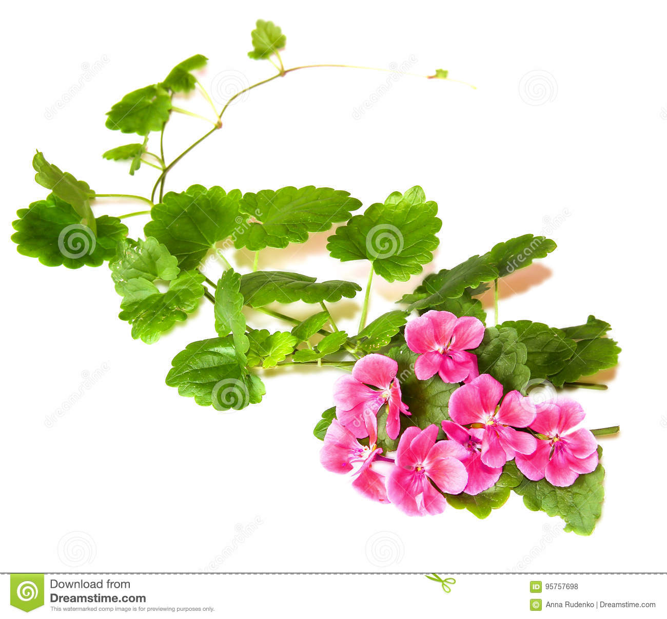 Composition of fresh green leaves of the ground cover and bright