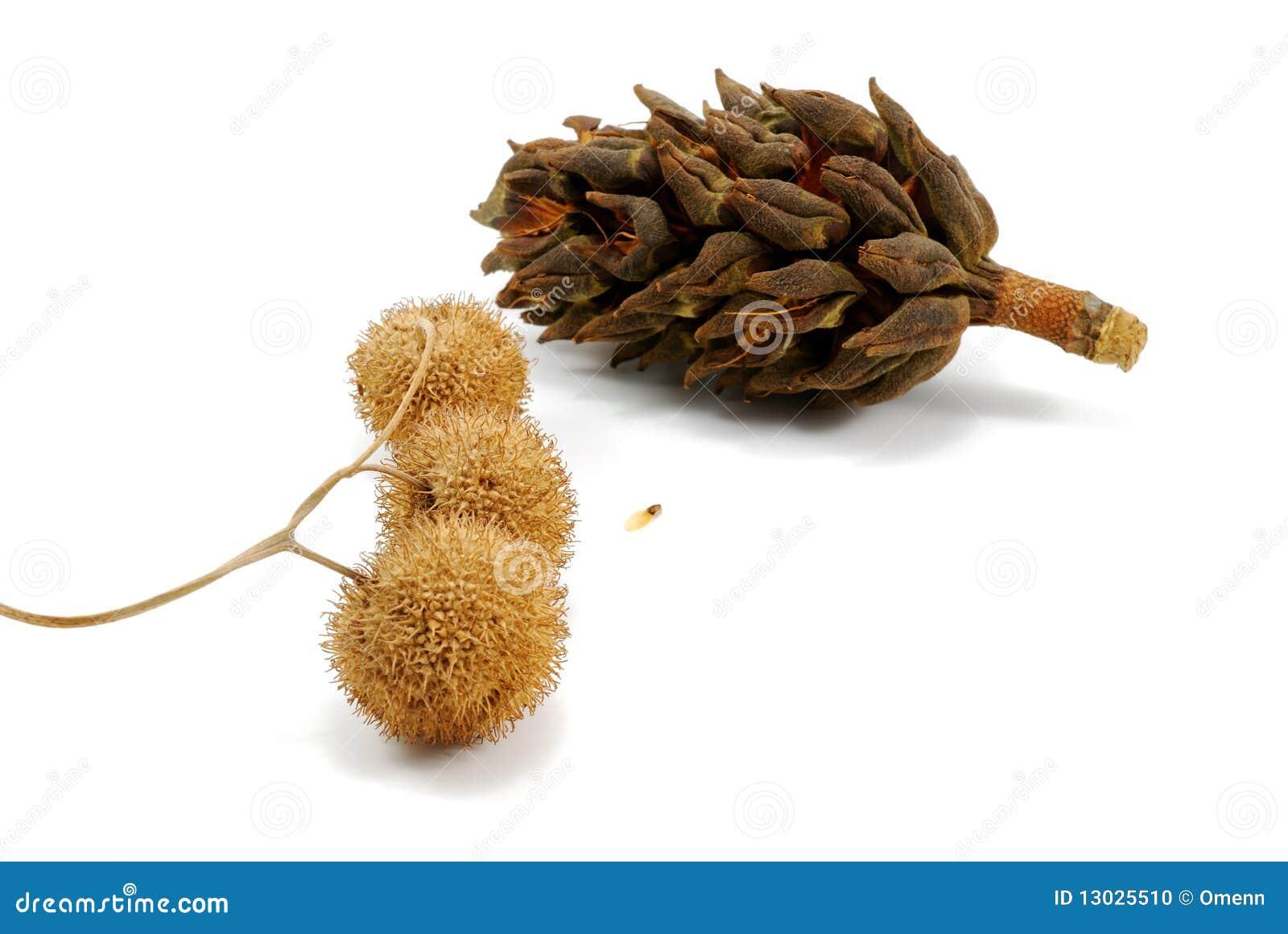 Composizione con il cono della magnolia e platan for Magnolia pianta prezzi